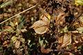 Mimulus guttatus-8.jpg