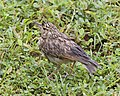 Mirafra affinis, Kimbissa, Sri Lanka.jpg