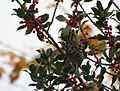 Mistle Thrush (Turdus viscivorus) eating berries.jpg