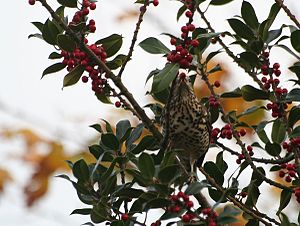Yum! This songbird is eating a red berry.
