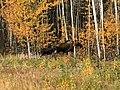 Momma moose and kid (48681100202).jpg
