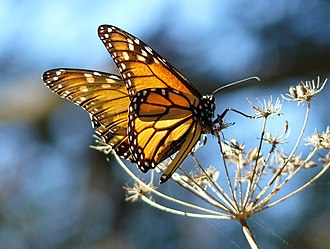 Pismo State Beach - Monarch butterfly at the Pismo Butterfly Grove