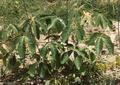 Mongongo seedling.PNG