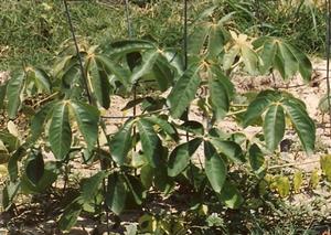 Mongongo - Schinziophyton rautanenii