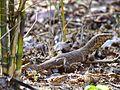 Monitor Lizard at Sarhi.jpg