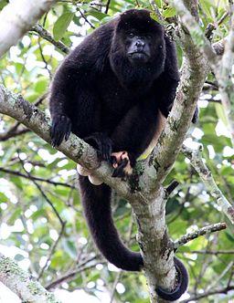 Mono aullador o Saraguato en el itsmo de Tehuantepec / Alouatta Palliata