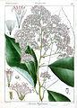 Monosis wightiana Rungiah.jpg