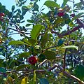 Morikami Museum and Gardens - Strawberry Guava Tree with Fruits.jpg