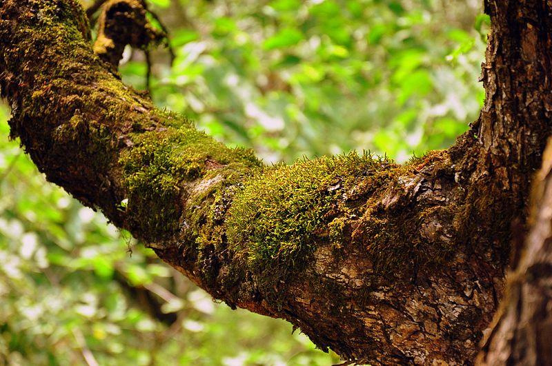 File:Moss on Tree.jpg