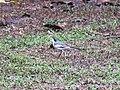 Motacilla alba (44653768032).jpg