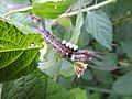 Moth from Ezhimala DSCN2315.jpg