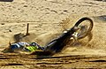 Motorcyclist faceplants during 2011 BXUK Beachcross Championships in Ramsgate by Funk Dooby via Flickr.jpg