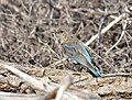 Mountain bluebird on Seedskadee National Wildlife Refuge (35547780103).jpg