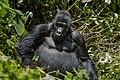 Mountain gorilla (Gorilla beringei beringei) 27.jpg