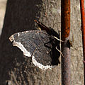 Mourning Cloak (Nymphalis antiopa) - London, Ontario 02.jpg