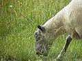 Mouton - tête (1).jpg