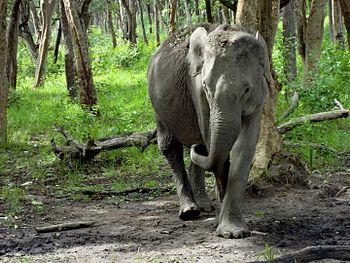 Mudumalai wild elephant.jpg
