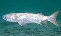 Mugil cephalus Minorca (cropped).jpg