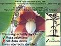 Musa textilis - Manila Hemp - desc-flower.jpg