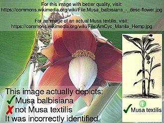 Abacá - Image: Musa textilis Manila Hemp desc flower