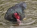 Muscovy Mating Pair Water In Action.jpg