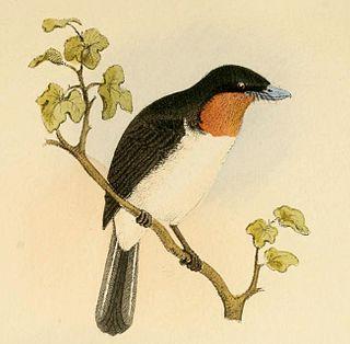 Samoan flycatcher species of bird