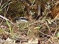 Myiodynastes chrysocephalus (Atrapamoscas lagartero) (14013565856).jpg
