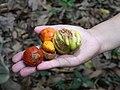 Myristica malabarica and Garcinia gummi-gutta, Pushpagiri WLS AJTJ.jpg