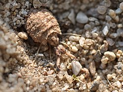 Bộ sưu tập côn trùng 2 - Page 26 250px-Myrmeleon_formicaria_2
