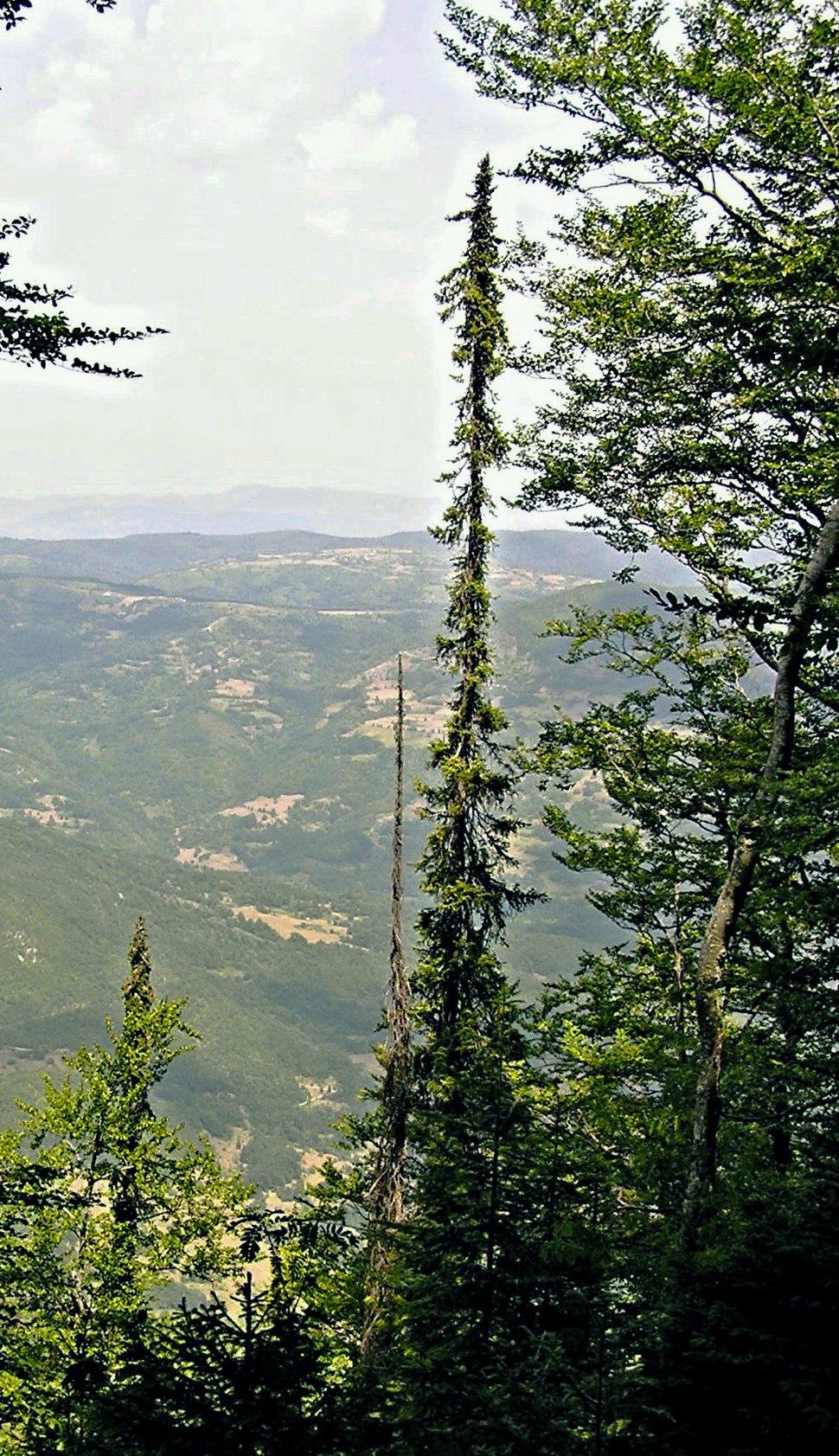 Nacionalni park Tara; Pančićeva omorika na Bilješkoj steni
