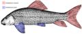 Nadadeiras do peixe.png