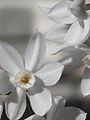 Narcissus papyraceus-Jerusalem-3.jpg