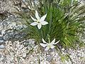 Narcissus poeticus 001.JPG