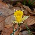 Narcissus pseudonarcissus-Jonquille-Réceptacle-20170522.jpg