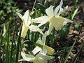 Narcissus triandrus cv.jpg