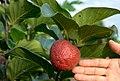 Nauclealatifoliafruit.jpg