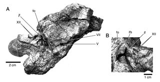 <i>Nebulasaurus</i>