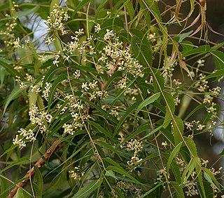 <i>Azadirachta indica</i> species of plant