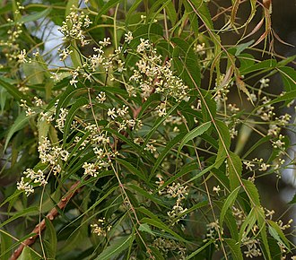 Azadirachta indica - Flowers and leaves