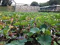 Nelumbo nucifera near site of Kaminohashi Gomon Gate of Fukuoka Castle 2.jpg