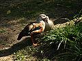 Neochen jubata -Berlin Zoo-6.jpg