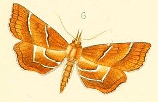 <i>Neurophyseta</i> Genus of moths