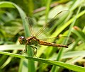 Neurothemis intermeida female -2014.jpg