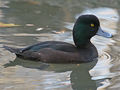 New Zealand Scaup (Aythya novaeseelandiae) RWD.jpg