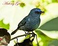 Nilgiri Flycatcher (7108181329).jpg