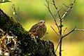 Nilgiri Pipit Anthus nilghiriensis from Anaimalai hills IMG 2145.jpg
