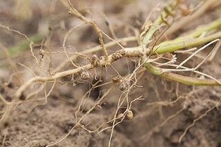 Hľuzkové baktérie vytvárajú drobné hľuzky na koreňoch bôbovitých rastlín