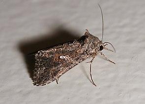Aschgraue Höckereule (Trichoplusia ni)