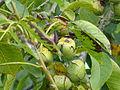 Noix arrivant à maturité sur la branche.jpg