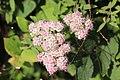 Noordwijk - Vinkenveld - Japanse spirea (Spiraea japonica).jpg